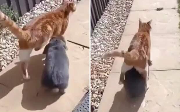 Нашел защитника: Сеть рассмешил приставучий кролик, преследующий кота