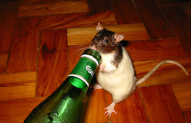 Простой «дедовский» способ переловить мышей в доме
