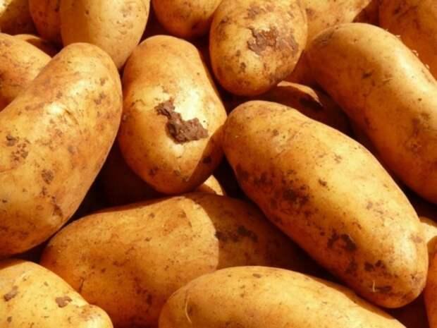 «Гастарбайтеров приехало мало»: в Подмосковье впервые за 25 лет отправили студентов на уборку картошки