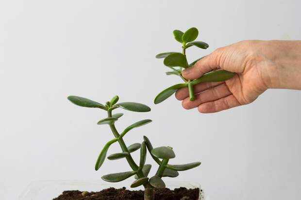 толстянка свойства растения