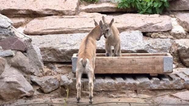 В Московском зоопарке родились детёныши дагестанского тура