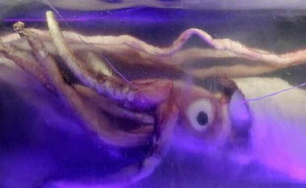 По счастью, в последние несколько сотен лет гигантские кальмары не нападали на корабли. Можно только предположить, какой ужас испытывали средневековые моряки, повстречав такого монстра в открытом океане.