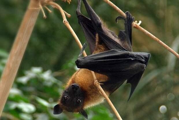 Летающие лисы. животные, интересное, мадагаскар, факты, эндемики мадагаскара