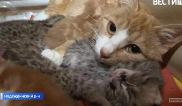 Домашняя кошка взяла на воспитание леопардовых котят