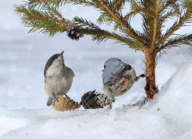 Поползень: птица с забавным именем и лихими повадками