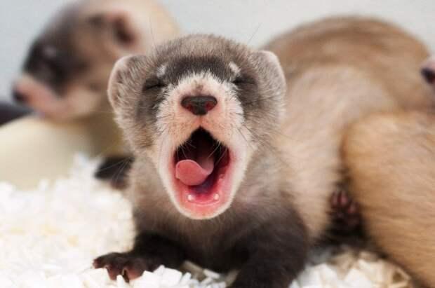 Как зевают животные