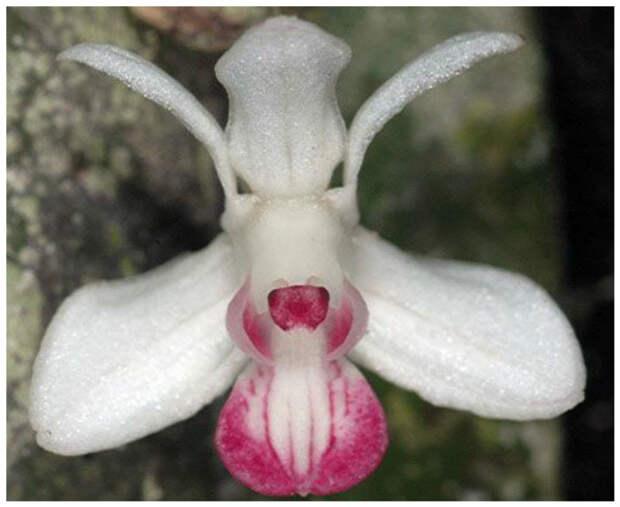Orchid-Mimicry: экзотическая новая орхидея, обнаруженная в 2010 году в Папуа-Новой Гвинее интересное, красота, орхидеи, флора, цветы