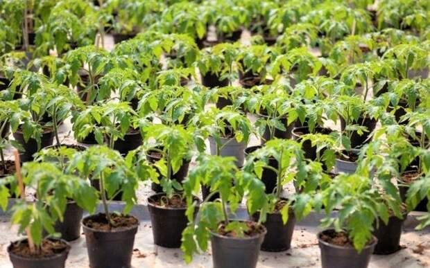 Какие ошибки совершают 90% огородников при пикировке томатов
