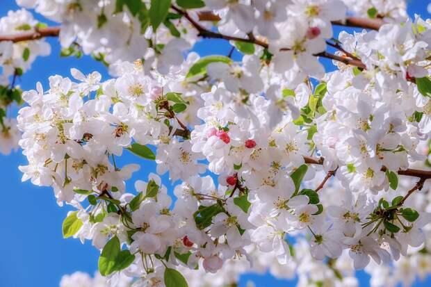 Цвести, Украшение, Филиал, Яблоневый Цвет