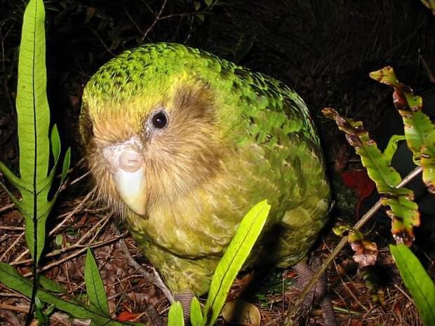 Единственный в мире нелетающий попугай
