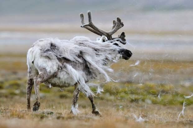 Шерстинки в шкуре северного оленя полые – в них есть воздух. Благодаря этому шерсть оленя не только греет в суровые морозы, но и помогает ему держаться на воде. А вот линька у северного оленя длится очень долго – с марта до августа © Джаспер Доист