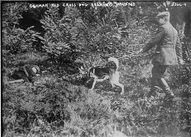 Собака Красного Креста Германии ищет раненых.