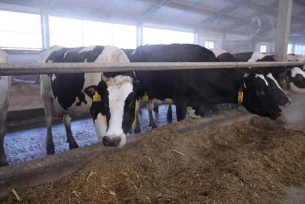 В Челябинской области коров хотят отправлять на штрафстоянку