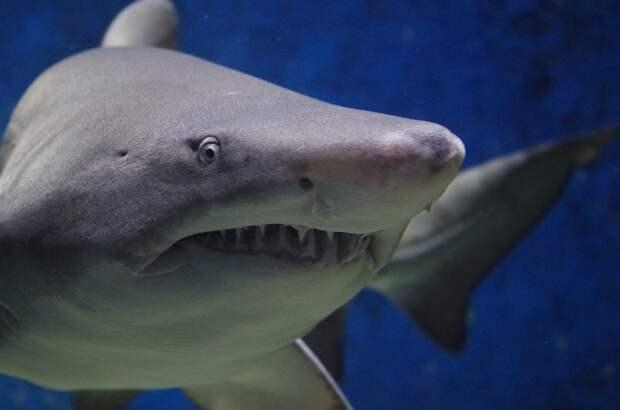 Акулы могут лишиться зубов из-за растущей кислотности океана