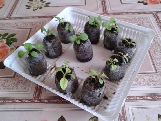 Пакетики от чая для выращивания рассады