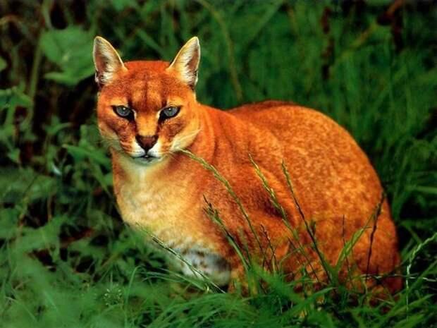 Африканская золотая кошка дикие кошки, животные, кошки, природа