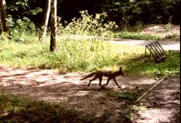 Тощая лиса напугала кошек в Выхине-Жулебине