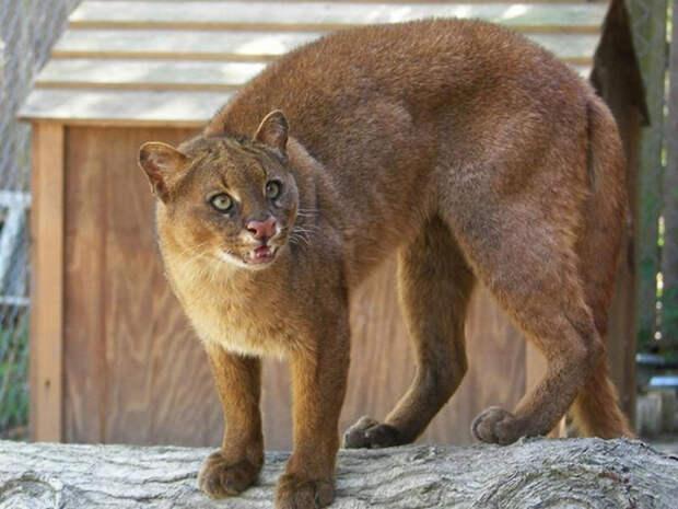 Ягуарунди - кошка, которая умеет чирикать, питается фруктами и дружит с обезьянами