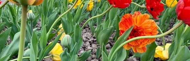 В акимате Алматы объяснили, куда убрали тюльпаны из сквера за гостиницей «Казахстан»