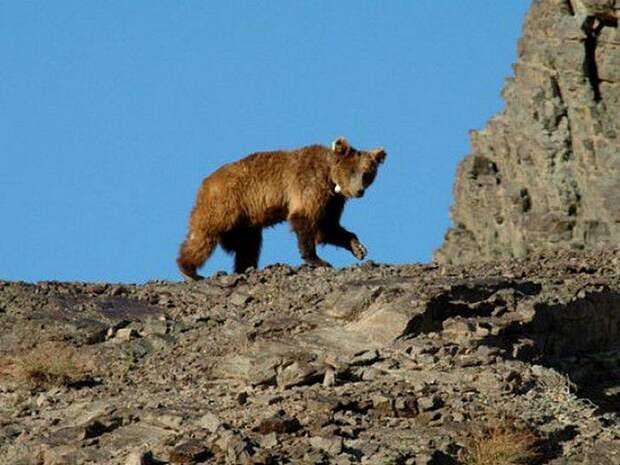 Гобийский медведь