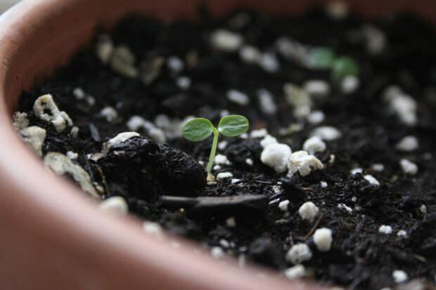 С помощью этого метода можно легко вырастить киви из косточек