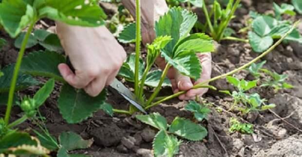Когда обрезать усы у клубники летом, чтобы увеличить урожай в будущем году