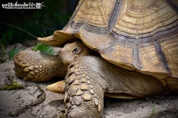 Гигантская черепаха и теленок, потерявший лапу, стали лучшими друзьями животные, теленок, черепаха