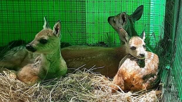 В приморском центре спасения животных воспитывают уже четырех косулят-сирот