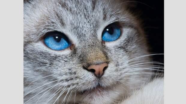 Породы кошек с голубыми глазами. Часть 2: белоснежки и мутанты