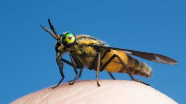 овод, насекомое