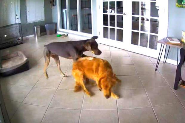 Видео: пес спасает своего друга от приступов эпилепсии