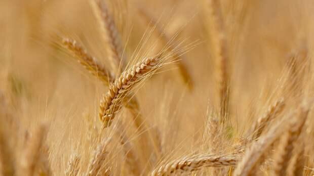 Повышение экспортной стоимости российской пшеницы зафиксировано в мае