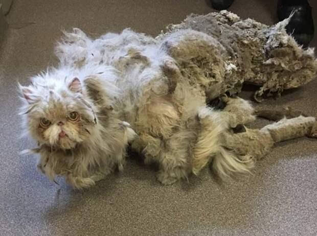 Работники приюта избавили Синдбада от 2 кг свалявшейся шерсти кот, преображение, стрижка, шерсть