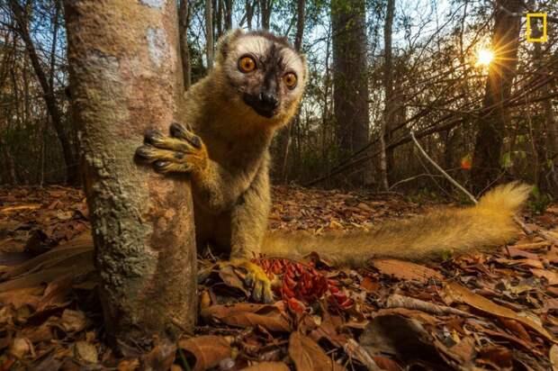 Лемур выглядывает из-за дерева (Фото: Ануруп Кришнан) national geographic, животные, конкурс, конкурсант, путешествие, фотография, фотомир