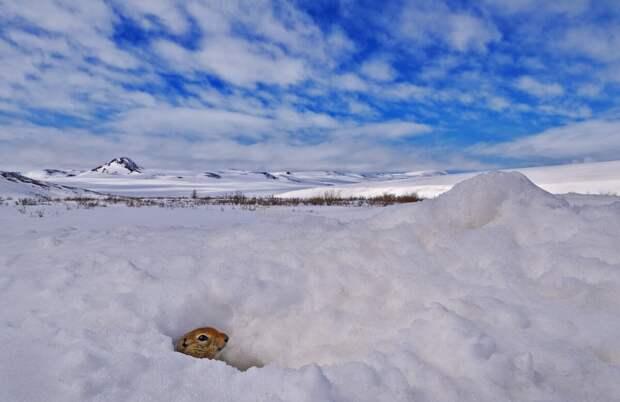 Берингийский суслик, или евражка. Ученые зафиксировали у этого грызуна самую низкую температуру тела среди всех млекопитающих – минус 3°C! В Арктике суслики ложатся в спячку на 8 месяцев © Тимур Ахметов