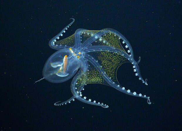 Биологи сняли на видео глубоководного прозрачного осьминога