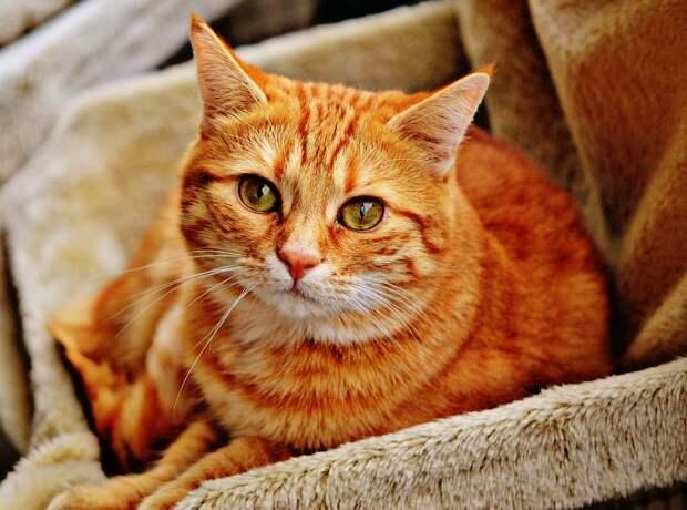 Кошка, Похмелье, Красный, Скумбрия, Тигр, Приятный
