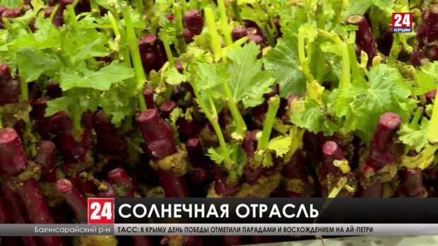Больше крымского винограда! Что придумали в Республике, чтобы производить отечественные саженцы вместо привозных?