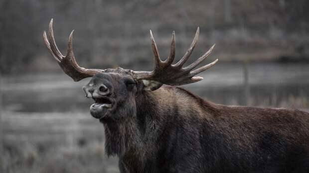 Исследователи выбрали самое логичное объяснение популярности лосей в древней Сибири