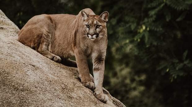 В Калифорнии мать спасла малыша от горного льва, бросившись на него с голыми руками