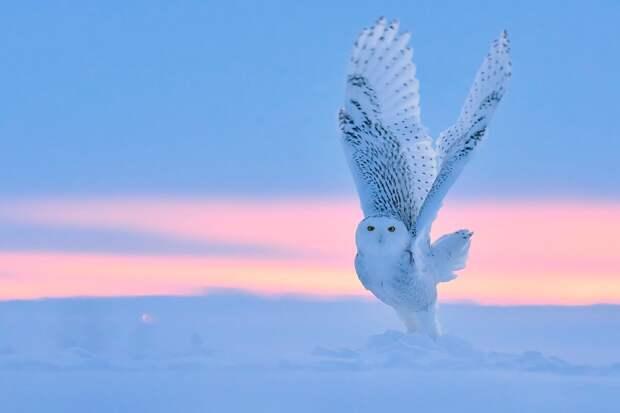 Белая  сова – самая большая птица в тундре. За оперение, которое прекрасно маскирует сову на снегу, якуты зовут ее «снежной бабушкой» © Тибор Керц