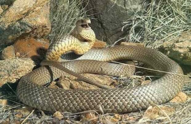 2. Коричневый Король или Мулга змеи, самые ядовитые, топ, топ-10