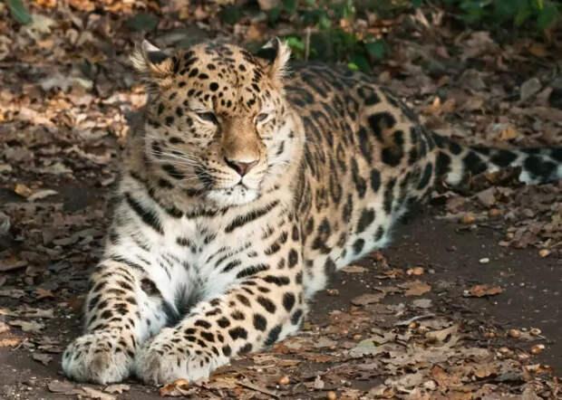 Описание дальневосточного леопарда