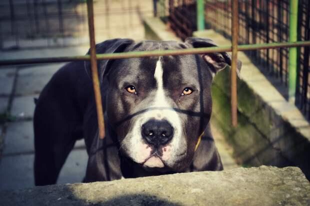 В России вступил в силу запрет на выгул опасных собак без намордника
