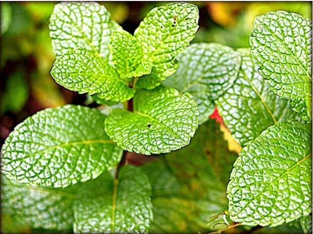 Мята повышает концентрацию внимания аромат, здоровье, настроение, растения