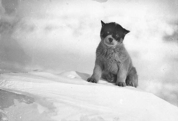 Щенок в Антарктиде, приблизительно 1912 год Австралийская антарктическая экспедиция, антарктида, исследование, мир, путешествие, фотография, экспедиция