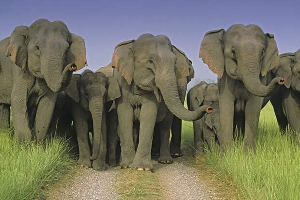 Three cheers! Indian Elephants scenting Corbett National Park, India.