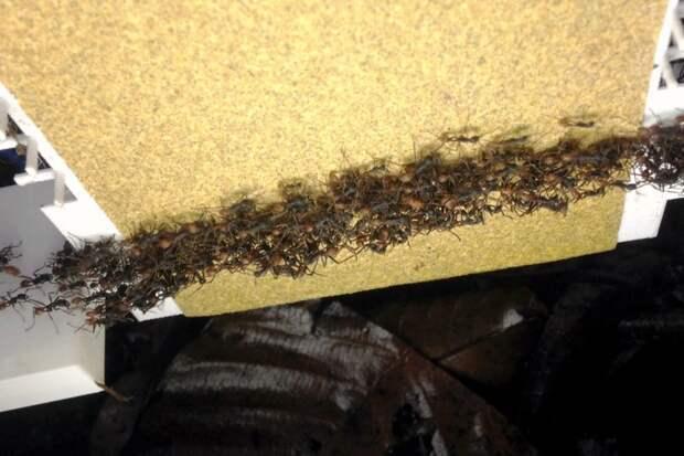 Муравьи оказались способны устраивать улавливающие сетки на опасных участках пути