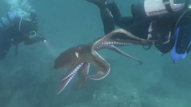 Встреча дайвера с навязчивым осьминогом в Японском море попала на видео