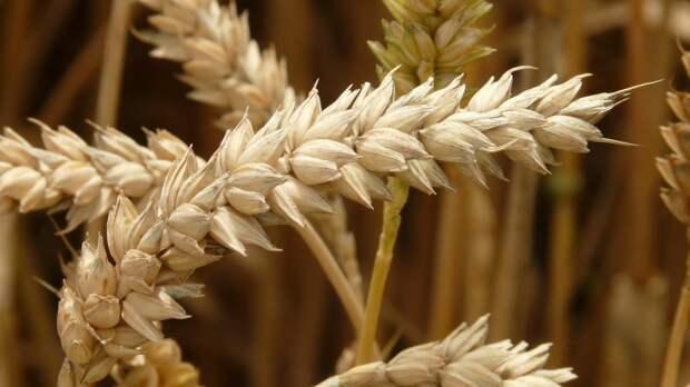 Пошлина на экспорт российской пшеницы будет увеличена в конце июня